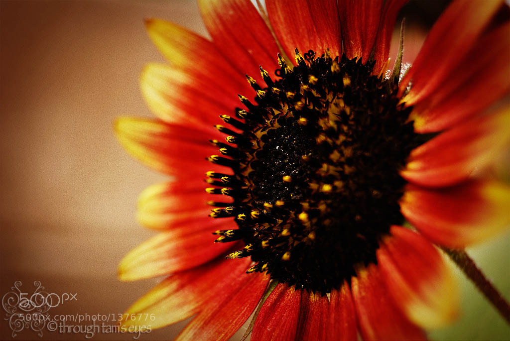Photograph Sunset Sunflower by Tamara Pruessner on 500px