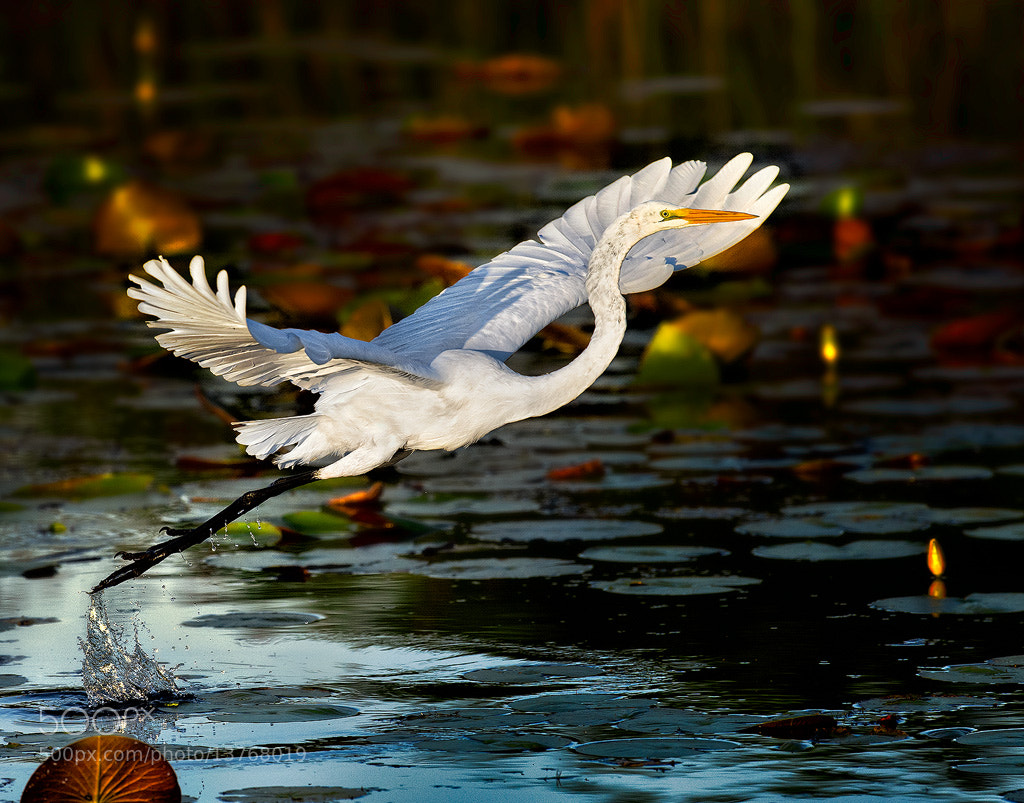 Photograph Egret Takeoff by Steve Perry on 500px