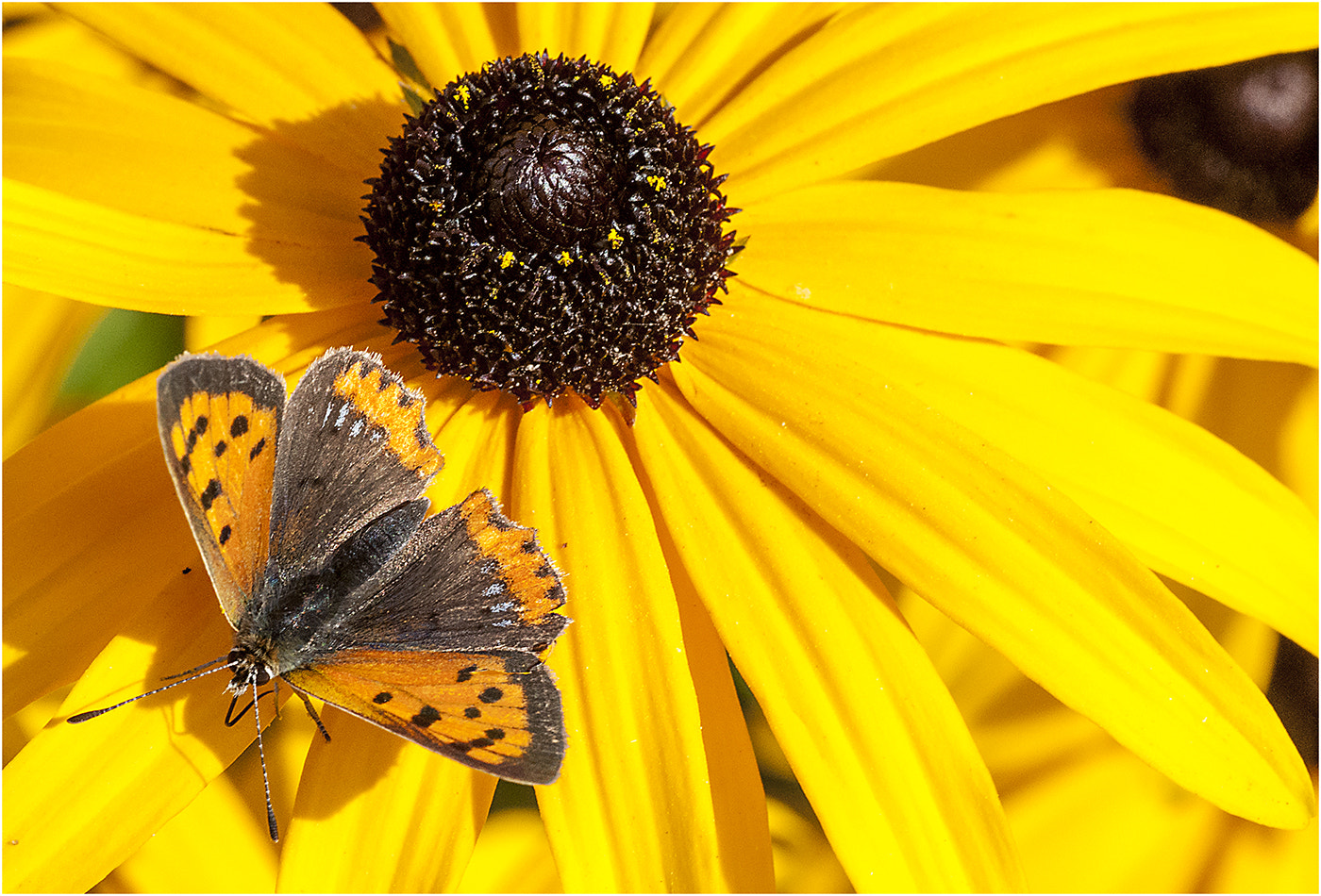 Photograph Black Eyed Susan and Friend by Simon Barrett on 500px