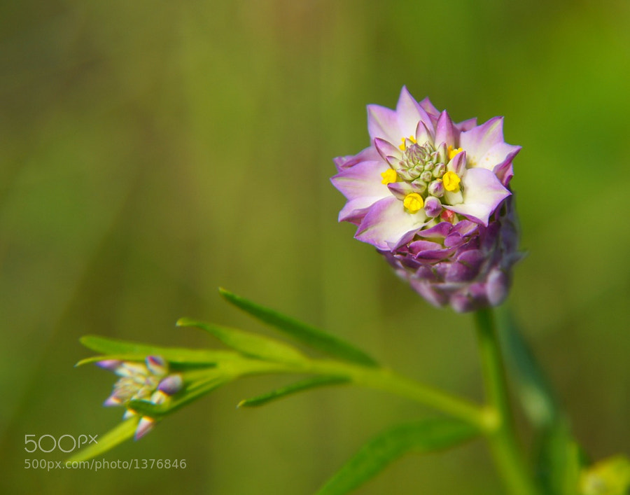 Macro of a Milkwort flower