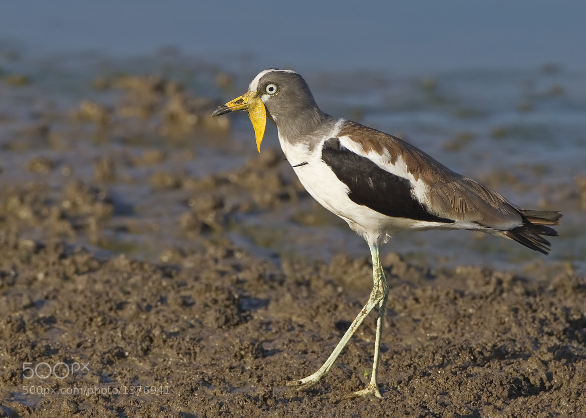 Photograph White Crowned Lapwing by Ken Watkins on 500px