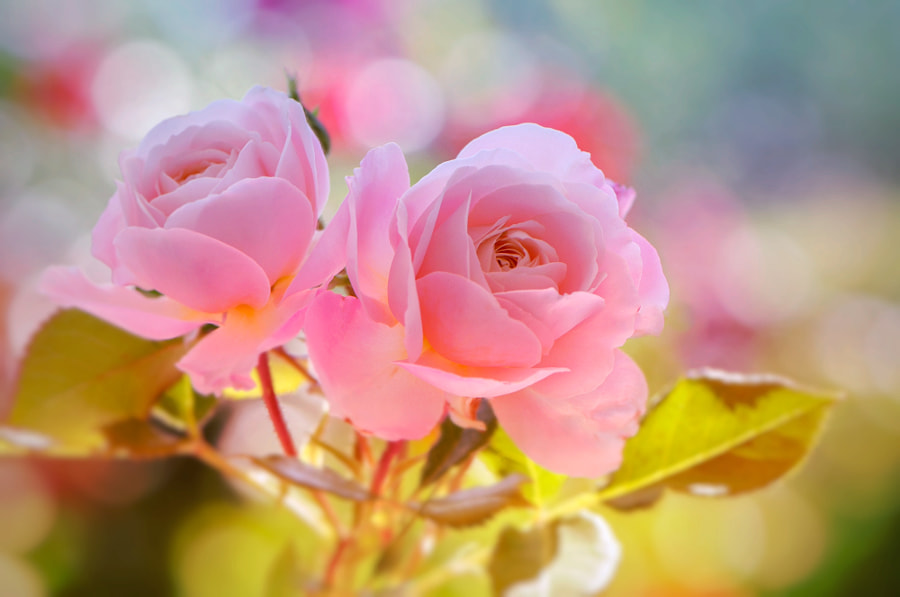 Double Pinkish by Ngoc Ngo on 500px.com