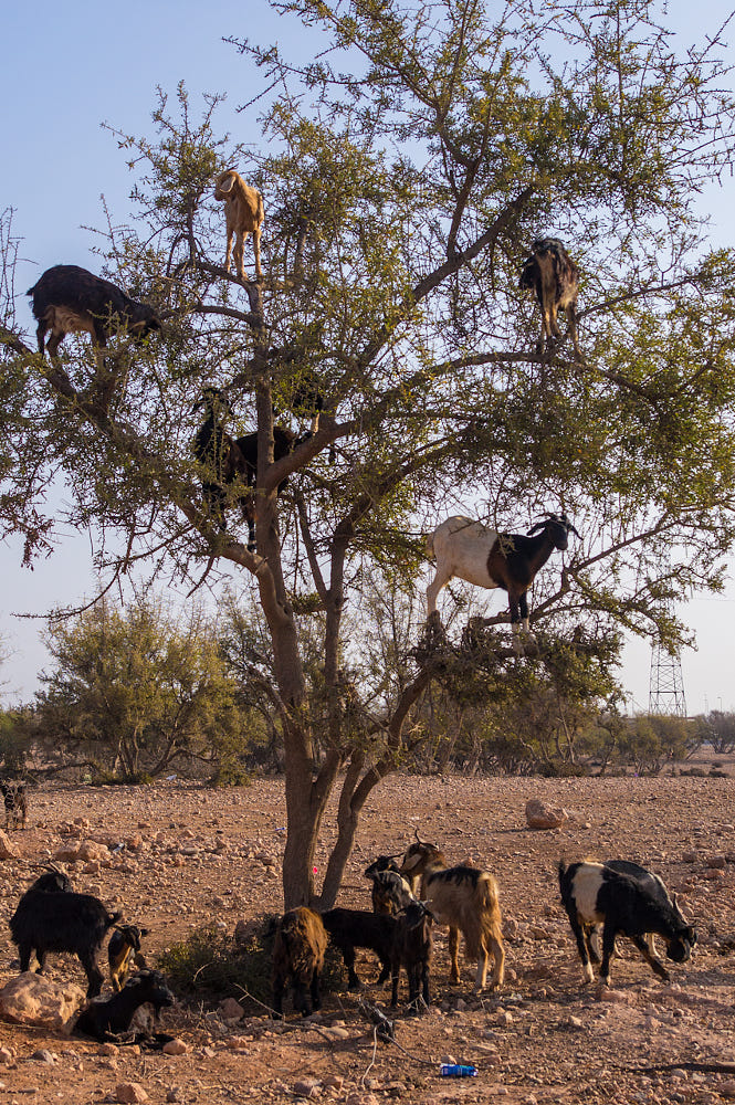 Goats In Trees    By James Billings    500px
