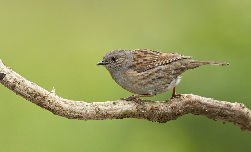 Photograph Dunnock by Geoffrey Baker on 500px