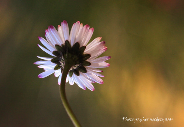 Photograph Shy daisy. by Necdet Yasar on 500px