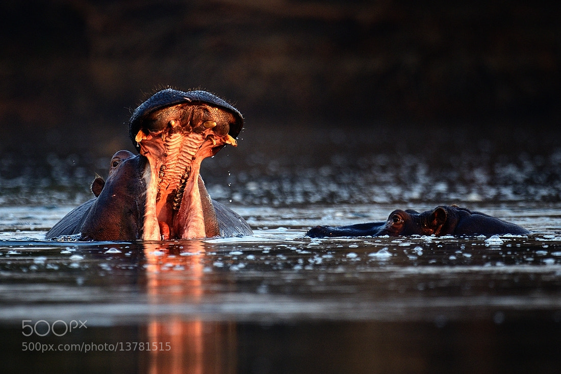 Photograph Hippos by Bostjan P. on 500px