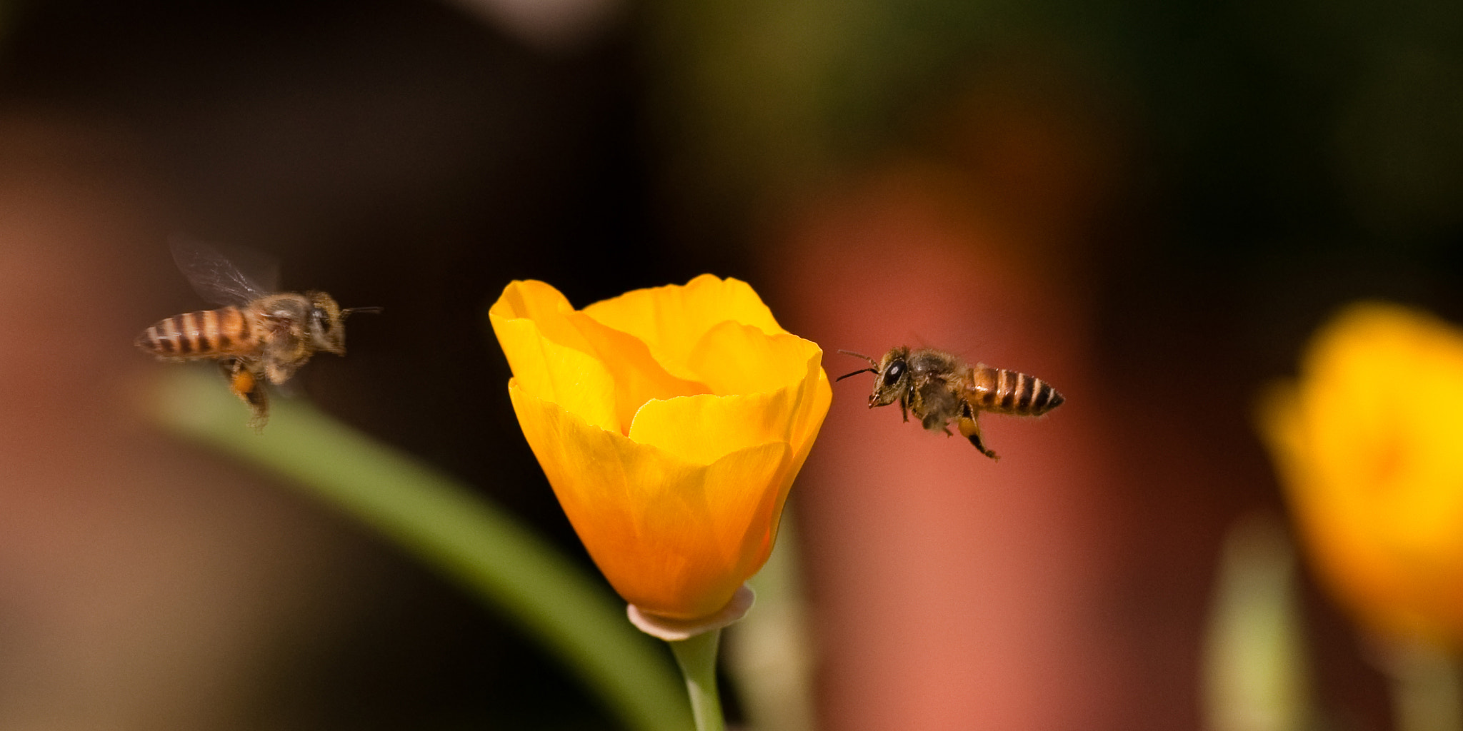 Photograph honey bee in flight by sankar  ghose on 500px