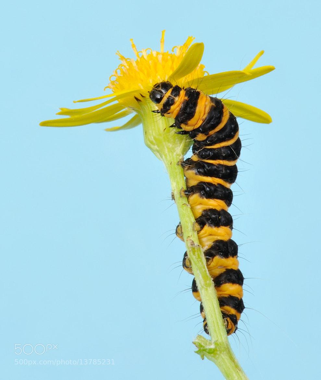 Photograph Cinnabar moth caterpillar  by Kevin  Keatley on 500px