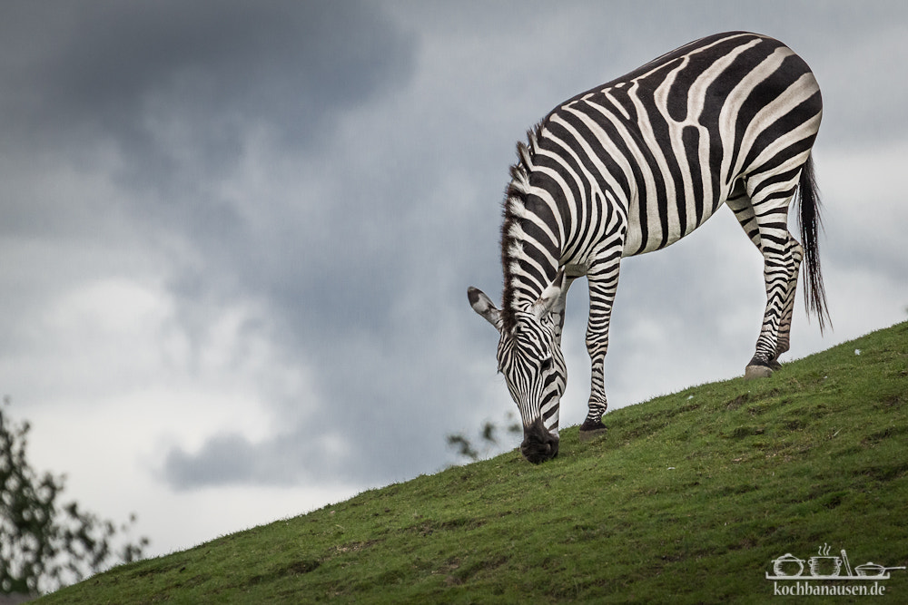 Photograph Zebra downhill by Stefan Tiesing on 500px