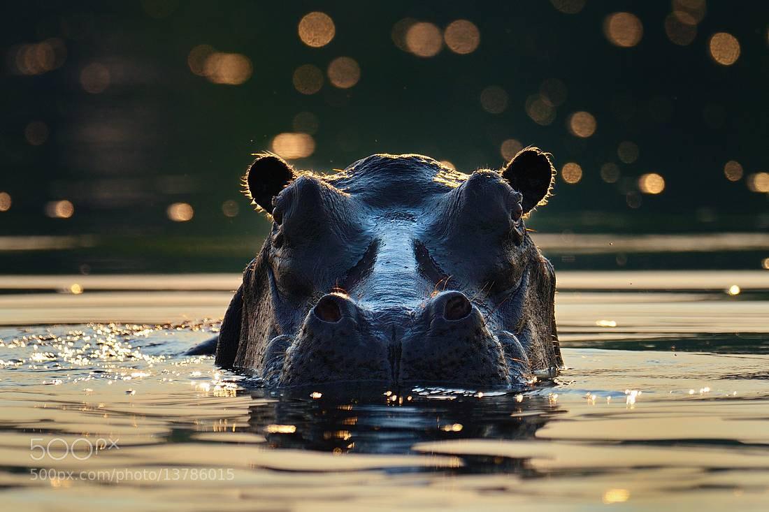 Photograph Hippo by Bostjan P. on 500px