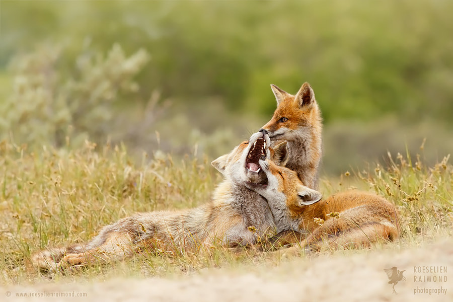 In a Fox Family Portrait.... by Roeselien Raimond on 500px.com