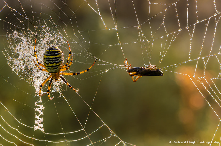 Photograph Wasp spider by Richard Guijt on 500px