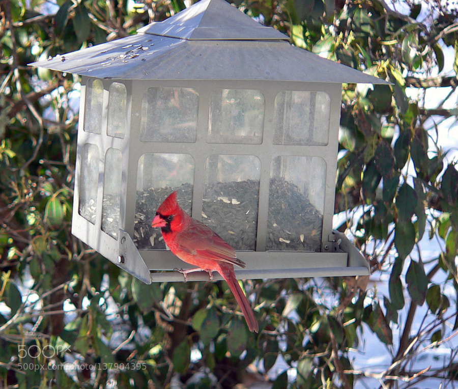Cardinal perched on the
