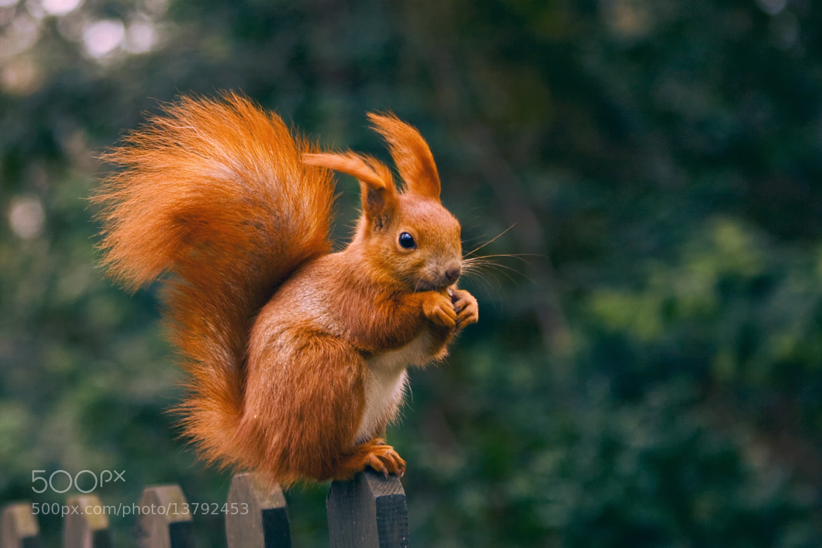Photograph Squirrel Monroe by Paula  Mozdrzewska on 500px
