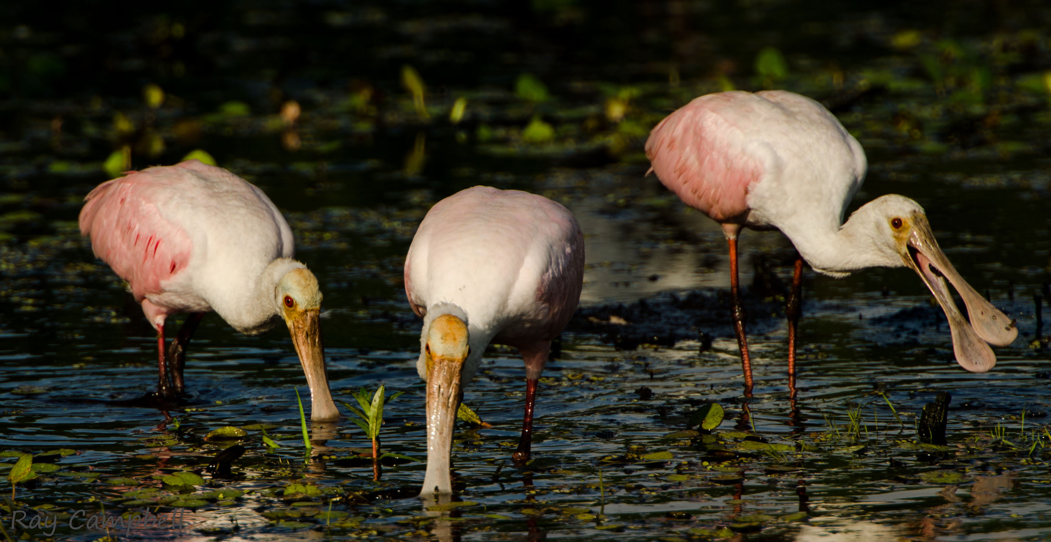 Photograph Roseate Spoonbills by Ray Campbell on 500px