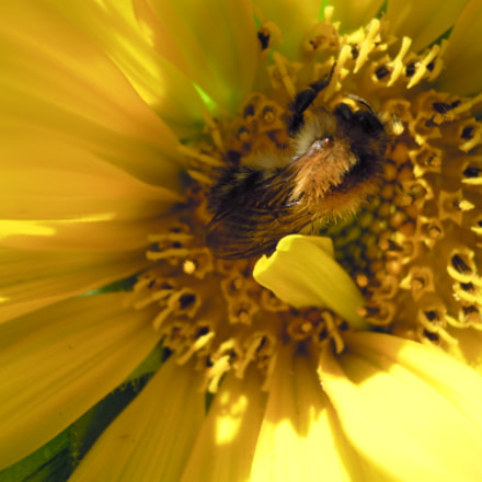 sunflower with bumblebee, Nikon COOLPIX S640