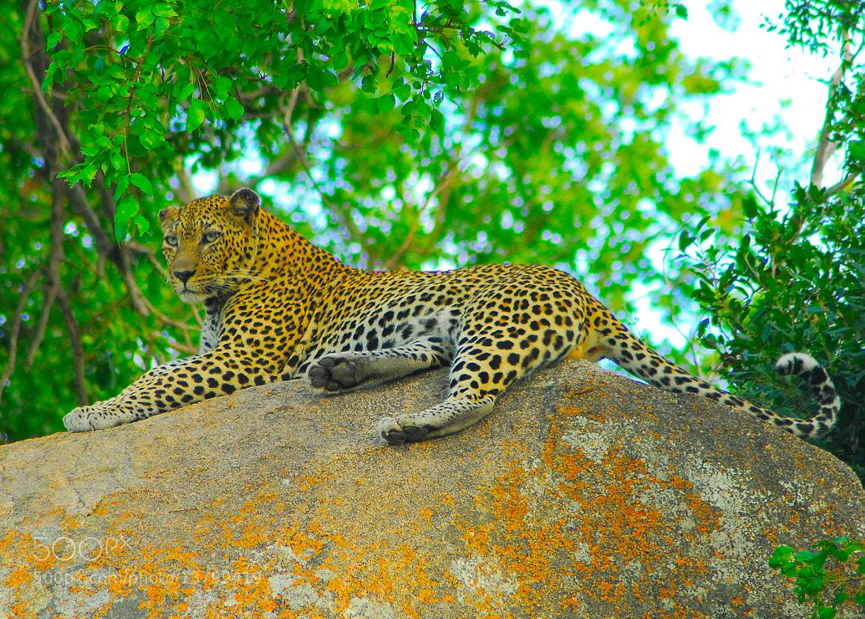 Photograph Leopard by Rodrigo Zan on 500px