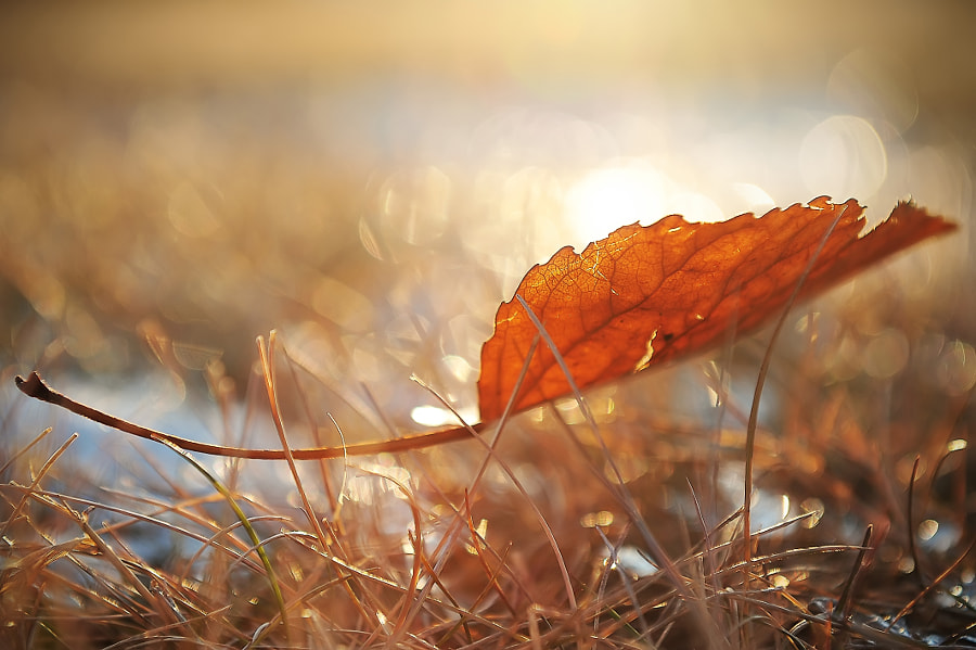 Red leaf at sunset by victor Liu on 500px.com