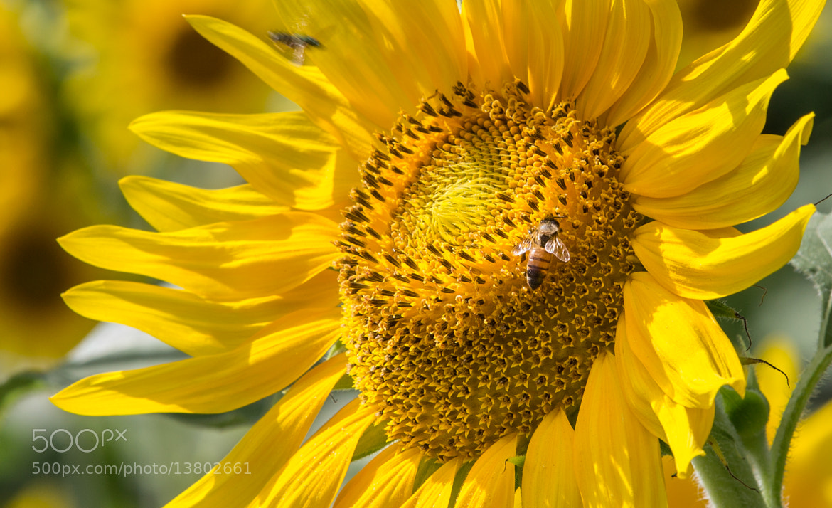 Photograph Sunflower Bee by George Bloise on 500px