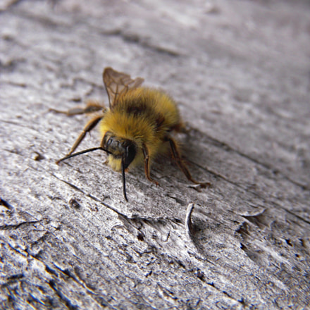 One-winged bee, Nikon COOLPIX S52