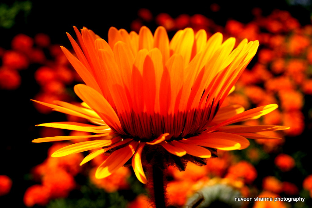 Photograph GRAND FLOWER by naveen sharma on 500px