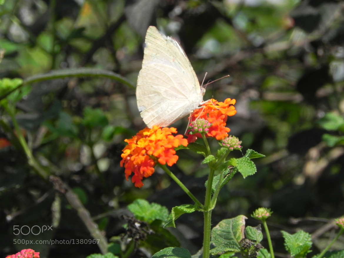 Photograph white butterfly by Liora Levin on 500px
