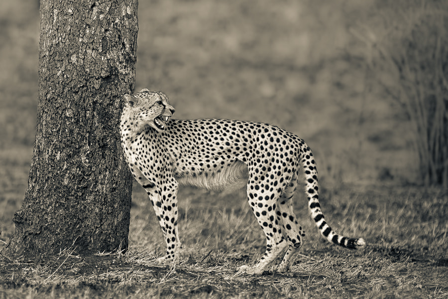 Photograph The Call of The Cheetah by Mario Moreno on 500px