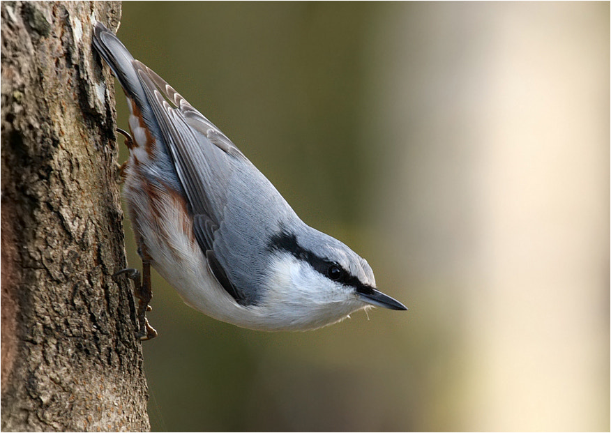 Photograph Nuthatch by Tatyana Sur on 500px