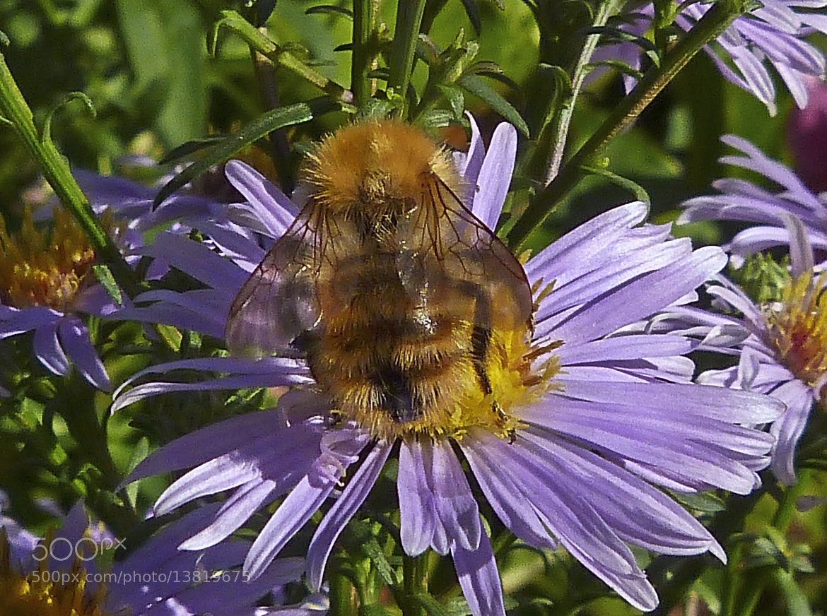 Photograph Common Carder Bee  (Bombus pascuorum)  by Ray Jones on 500px