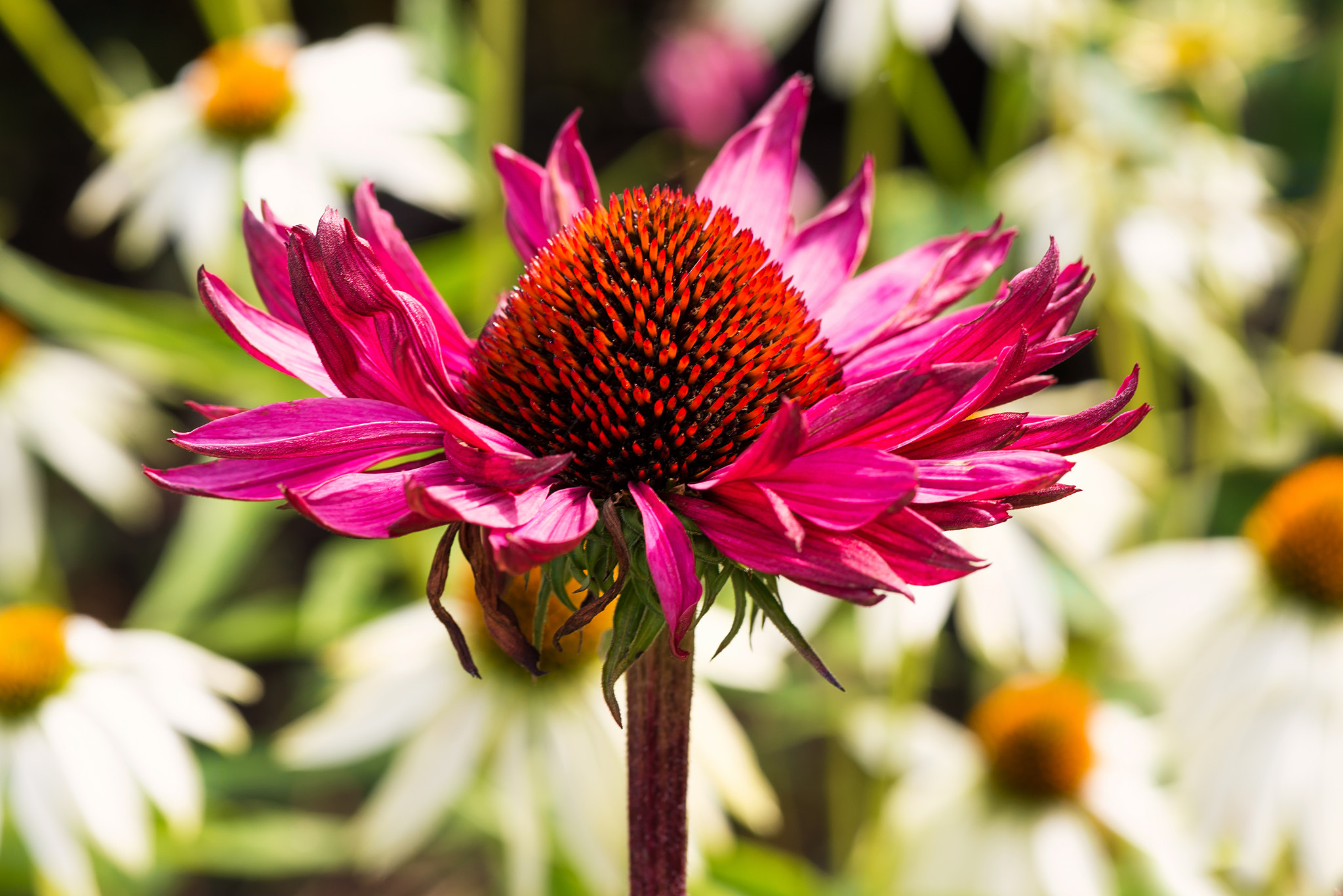Photograph Purple coneflower with white coneflower in background  by Stefan Holm on 500px