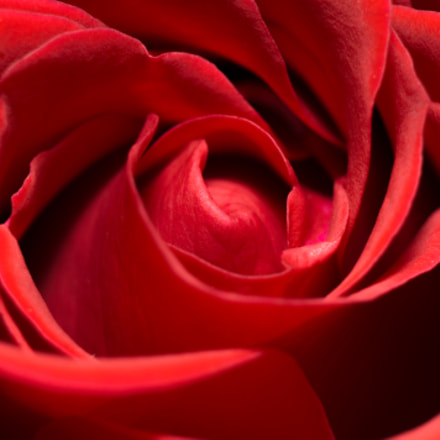 Heart of a Red Rose