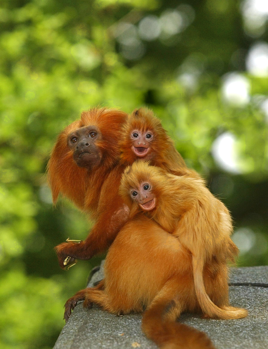 Photograph Golden Lion Tamarins ride on Dad's back by Chris Balcombe on 500px
