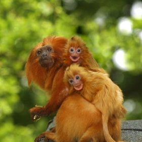 Golden Lion Tamarins ride on Dad's back by Chris Balcombe (ChrisBalcombe)) on 500px.com