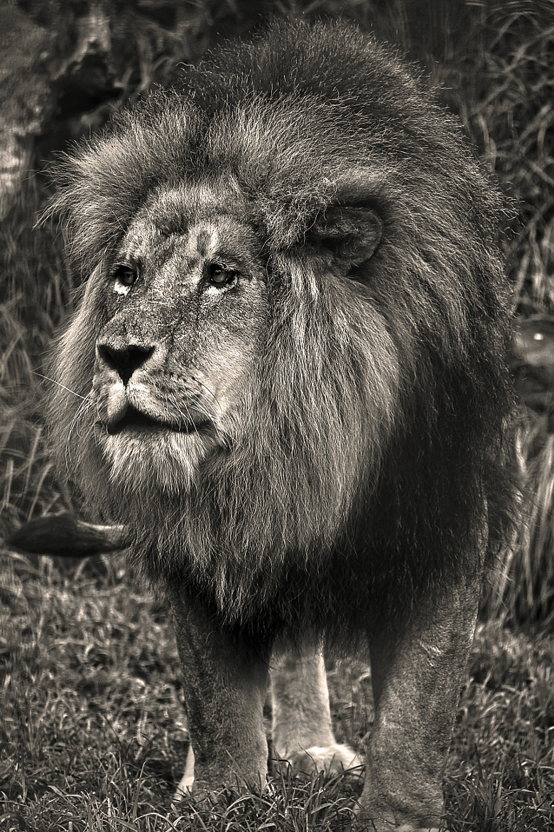 Photograph Lion by Mohammed Attar on 500px