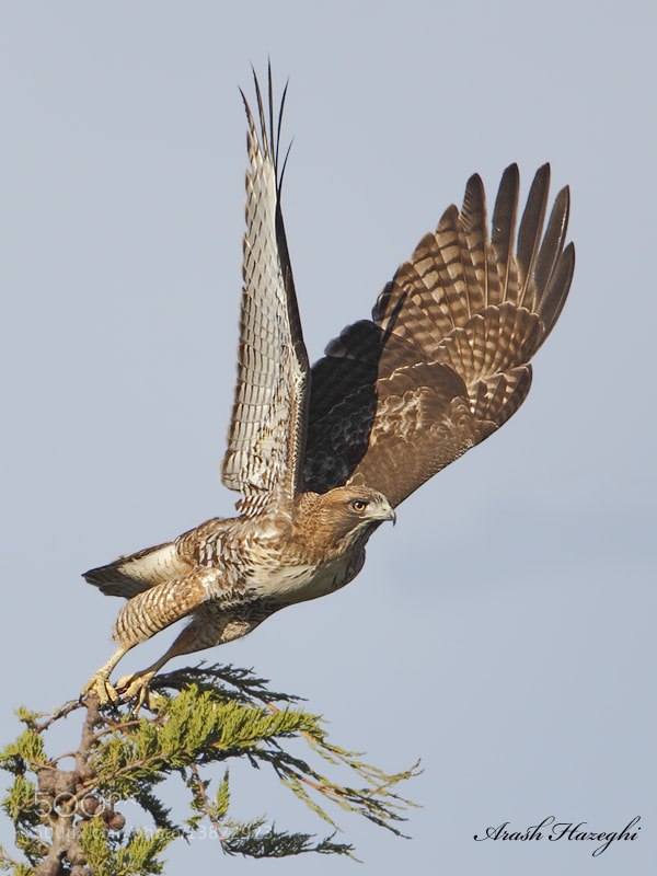 Photograph Red-tailed hawk take off by Ari Hazeghi on 500px