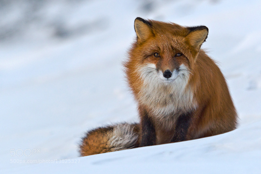 Photograph wise fox by Ivan Kislov on 500px