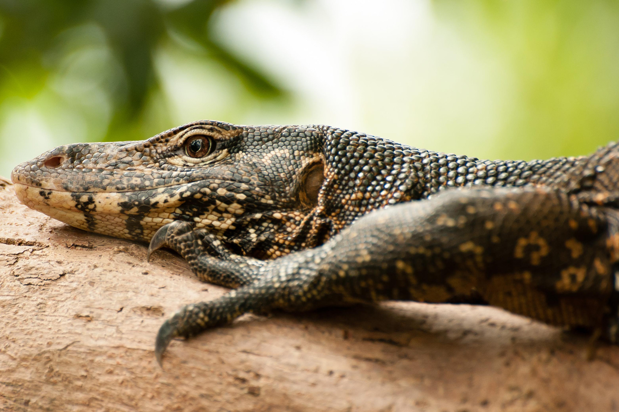 Photograph Water Monitor  by Lauren Cain on 500px