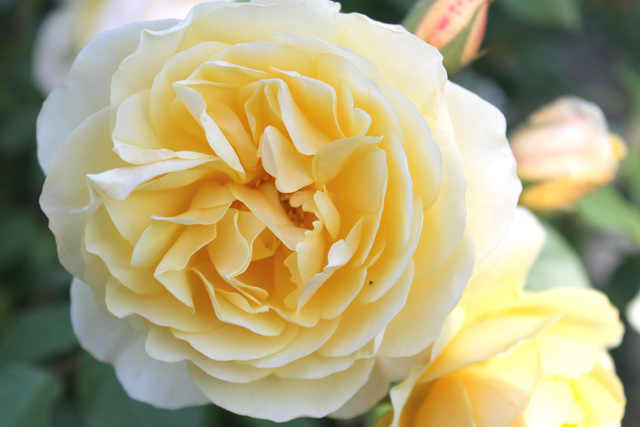 Photograph Yellow Rose by Wendy Stevens on 500px