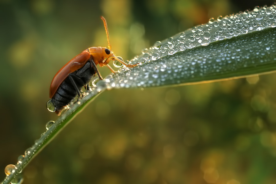 Photograph Lady Bug and DEW by Donald Jusa on 500px