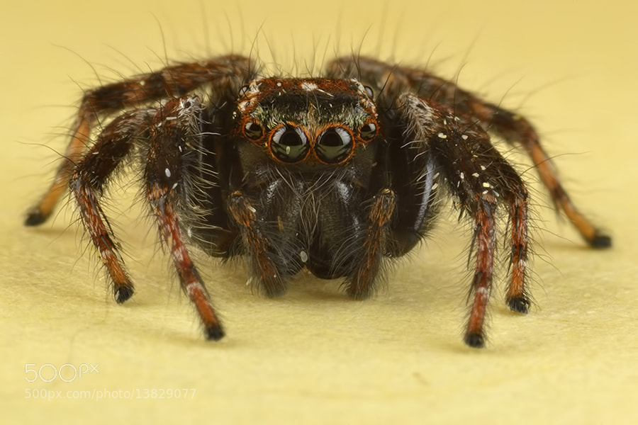 Photograph The Stray Jumping Spiders in My House by Donald Jusa on 500px