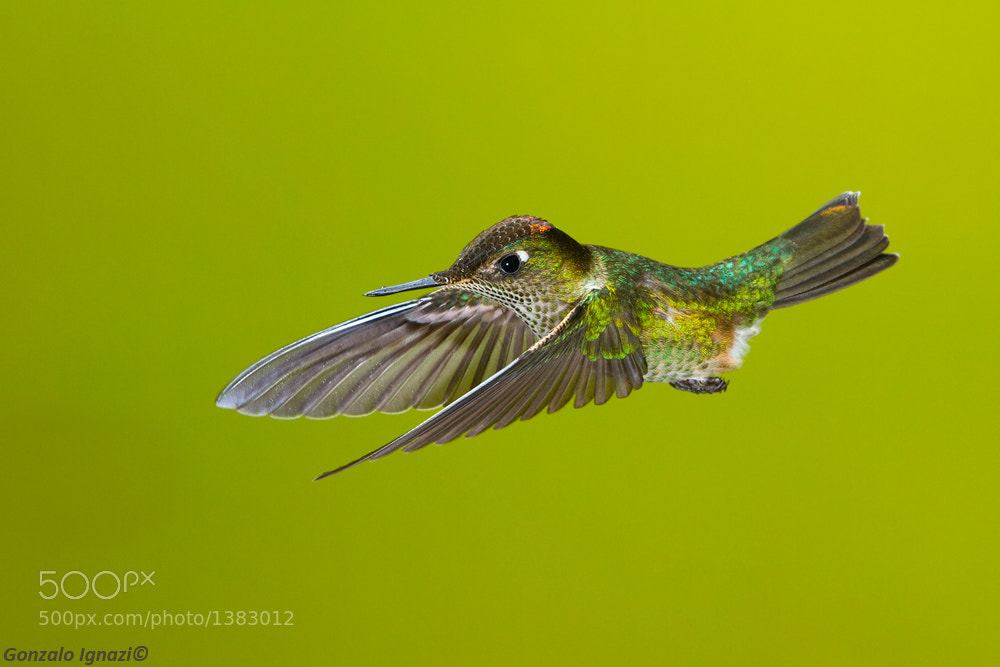 Photograph Green -backed Firecrown by Gonzalo Ignazi on 500px