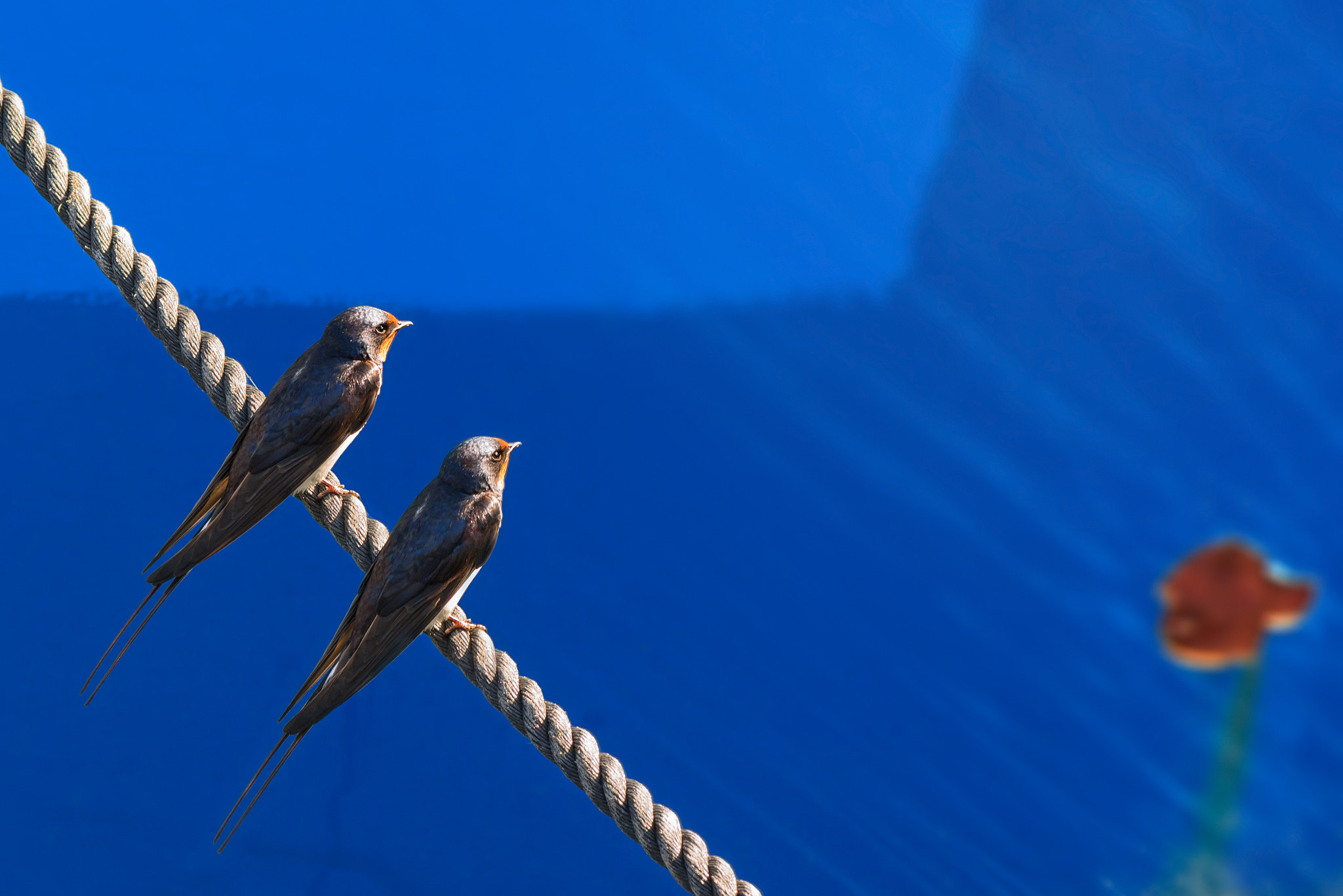 Photograph Two Barn Swallows by Stefan Holm on 500px