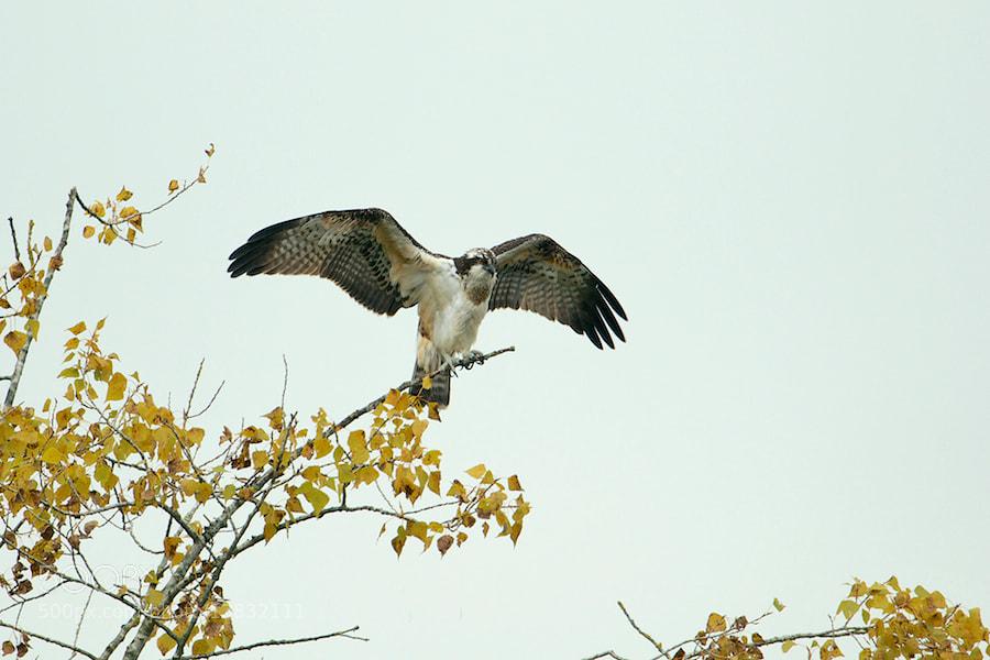 Photograph Osprey in the wind by Erik Veldkamp on 500px