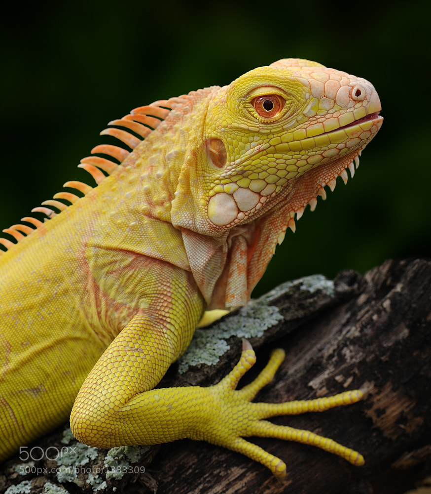 Photograph Iguana iguana, albino by Michael Kern on 500px