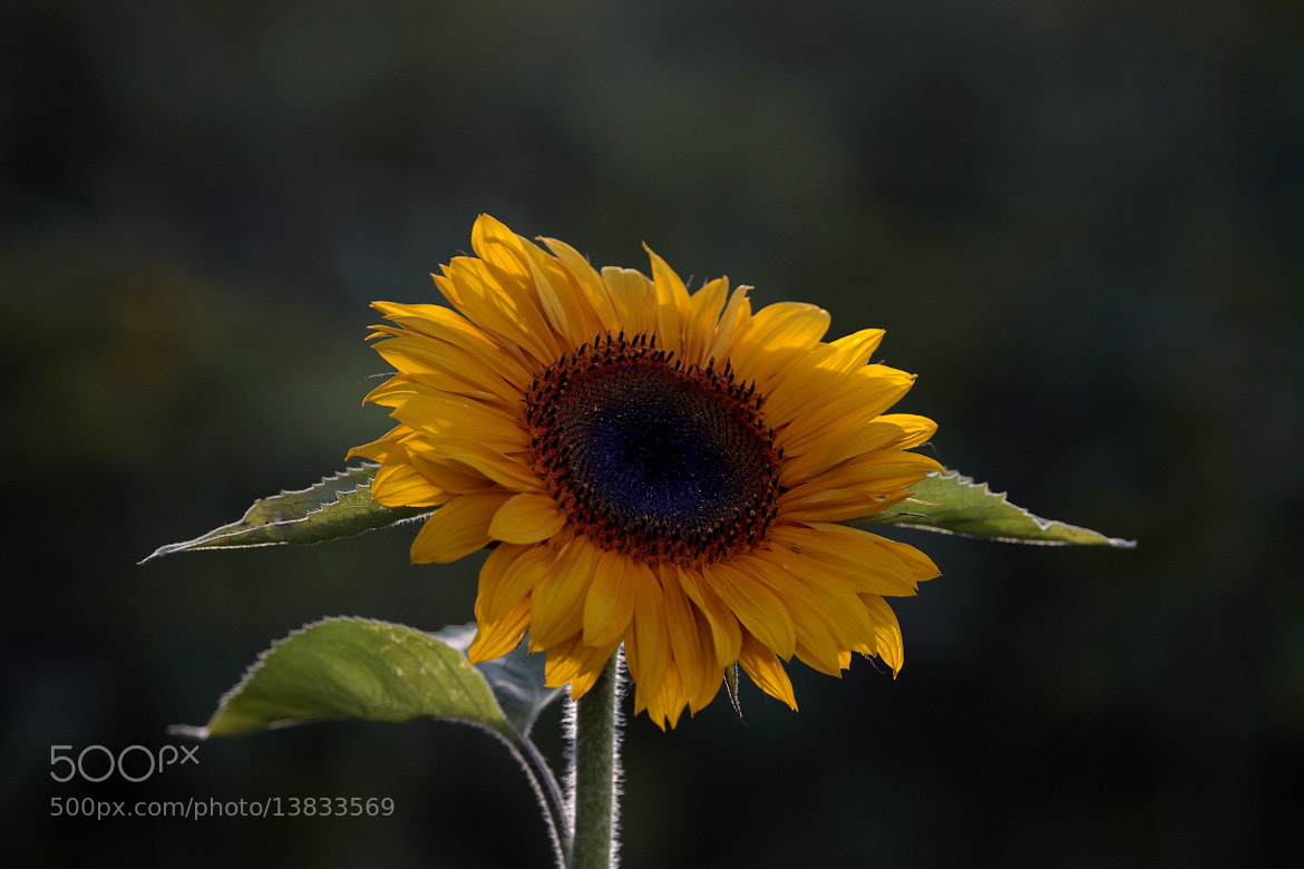 Photograph Sunflower  at sunset by Cristobal Garciaferro Rubio on 500px