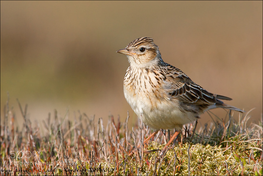 Photograph Eurasian Skylark (Alauda arvensis) by Gyorgy Szimuly on 500px