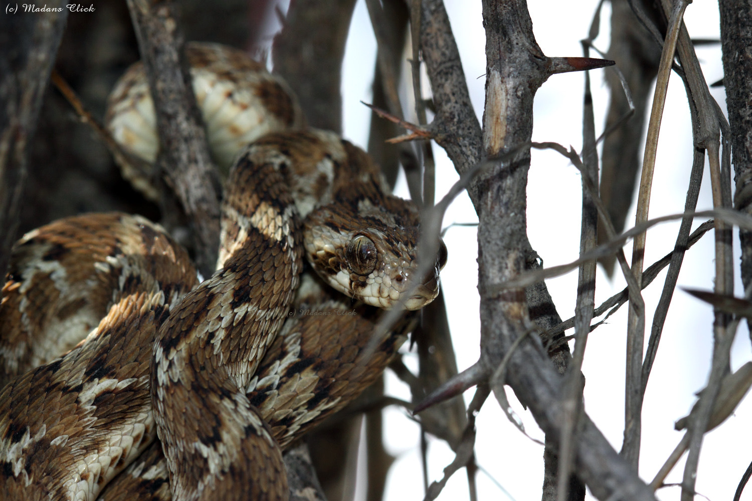 Photograph Saw Scaled Viper - Highly Venomous by Madan GC on 500px