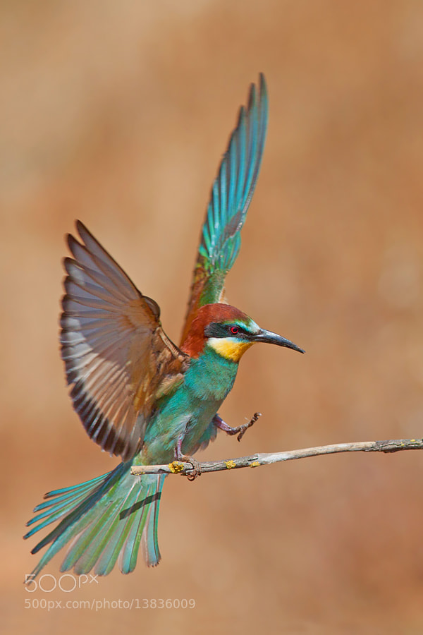 Photograph Bee eater by Roy Avraham on 500px