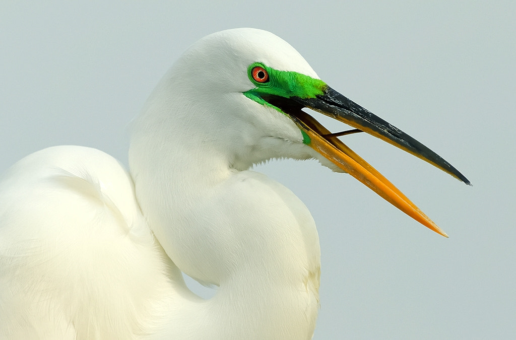 Photograph Great Egret by Joe Iocco on 500px