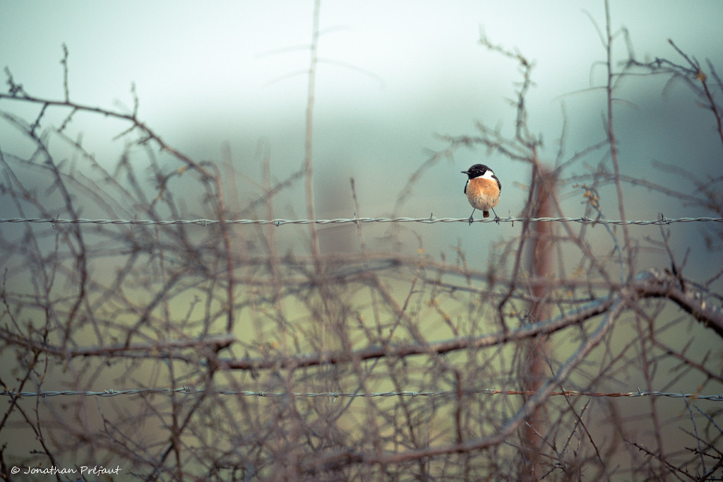 Photograph Bird on a wire by Jonathan Préfaut on 500px